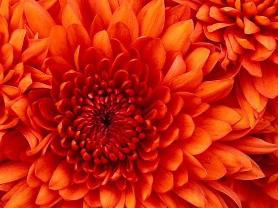 chrysanthemum_1-copie