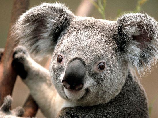 koala_1_1